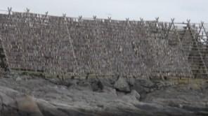 Drying fish on the Lofoten Islands