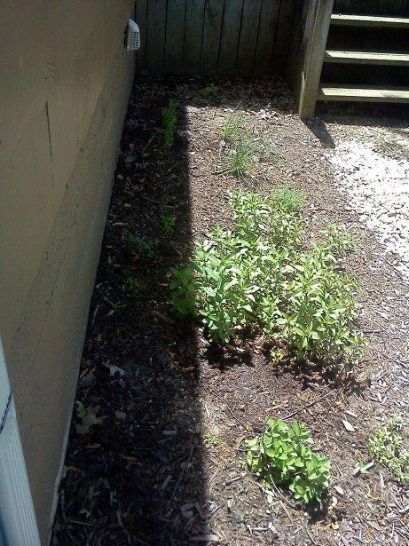 I built a front yard herb shade garden using permaculture design. Using perennial herbs (mint, lemon balm, thyme, chives), it makes use of a marginal edge next to my house.