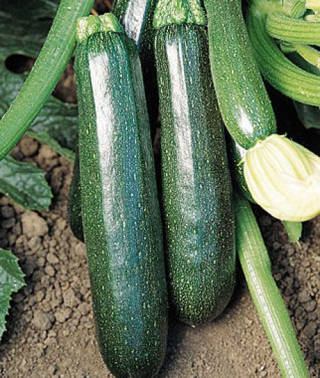 Squash, Summer, Sure Thing Zucchini Hybrid 1 Pkt. (25 seeds) Fruits early even in cool, cloudy conditions. Click here to purchase.