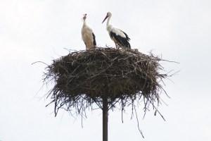 0032- on15 - white-stork Stoicovici Victor - 800 -H