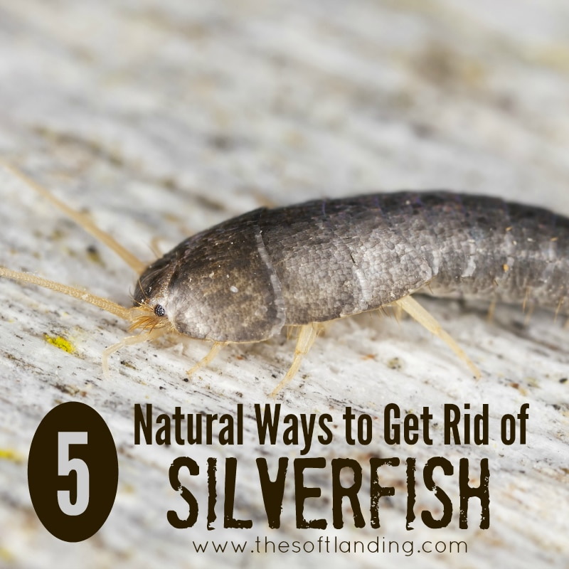 5 Natural Ways to Get Rid Silverfish