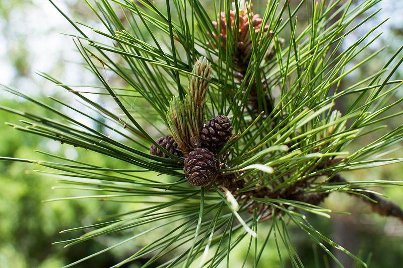 pineconephoto