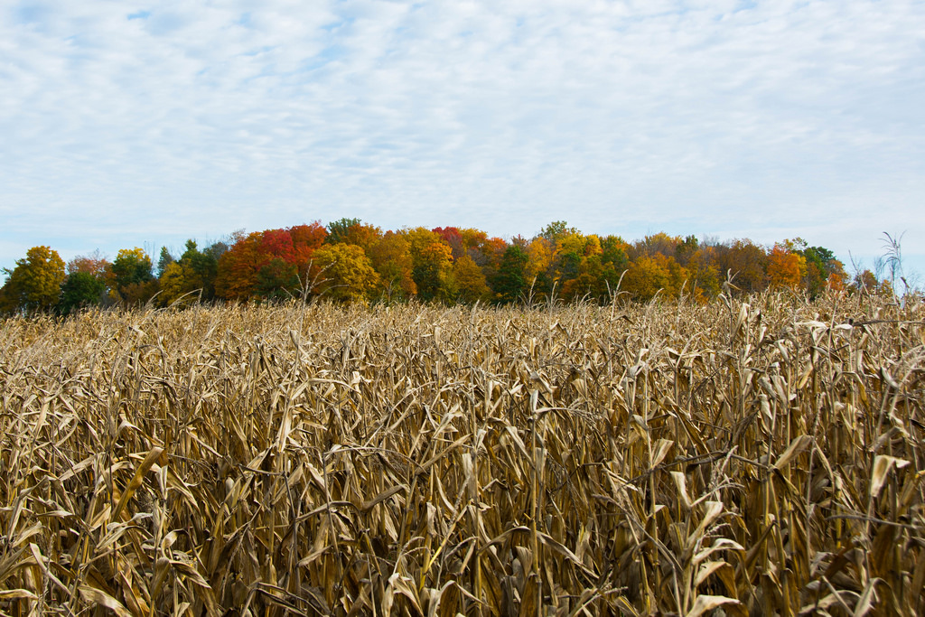 fall-beyond-the-corn