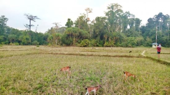 A man with a child on his shoulders walking through fields with three goats grazing