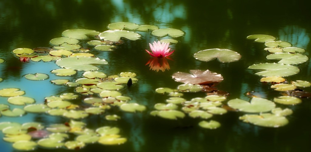 water-lily-664087_1920