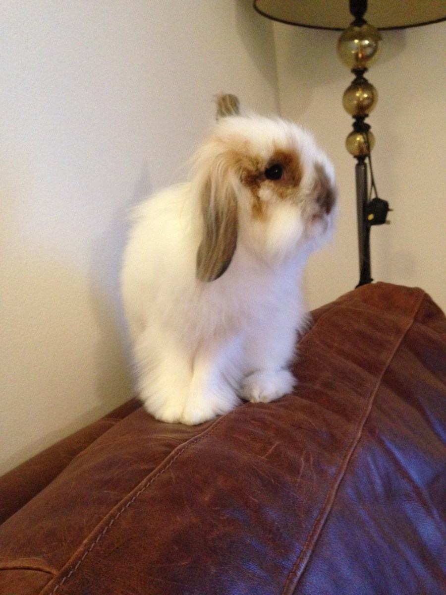 very cute lionhead rabbit sat on sofa with one ear up and one ear down