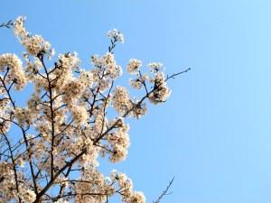 Seoul, Korea: Yeouido Cherry Blossom Festival 2013