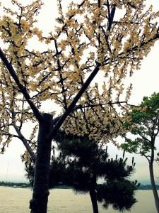 Gangneung, Korea: Gyeongpo Lake fake Cherry Blossom Trees