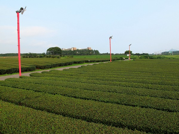 Jeju, Korea: O'Sulloc Green Tea Fields