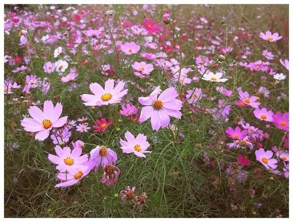 Seoul, Korea: Cosmos @ Mangwon Hangang Park