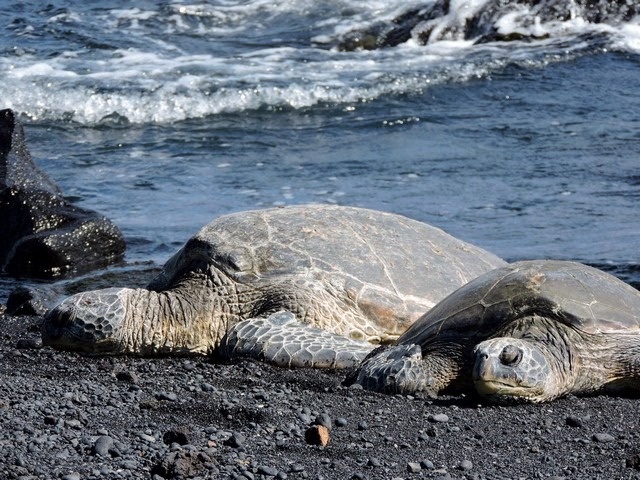 Punalu'u Black Sand Beach, Big Island, Hawaii, USA, sea turtles