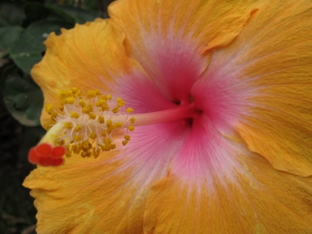 The Big Island, Hawaii, flower