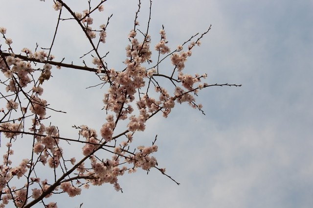 Seoul World Cup Park, Korea cherry blossoms