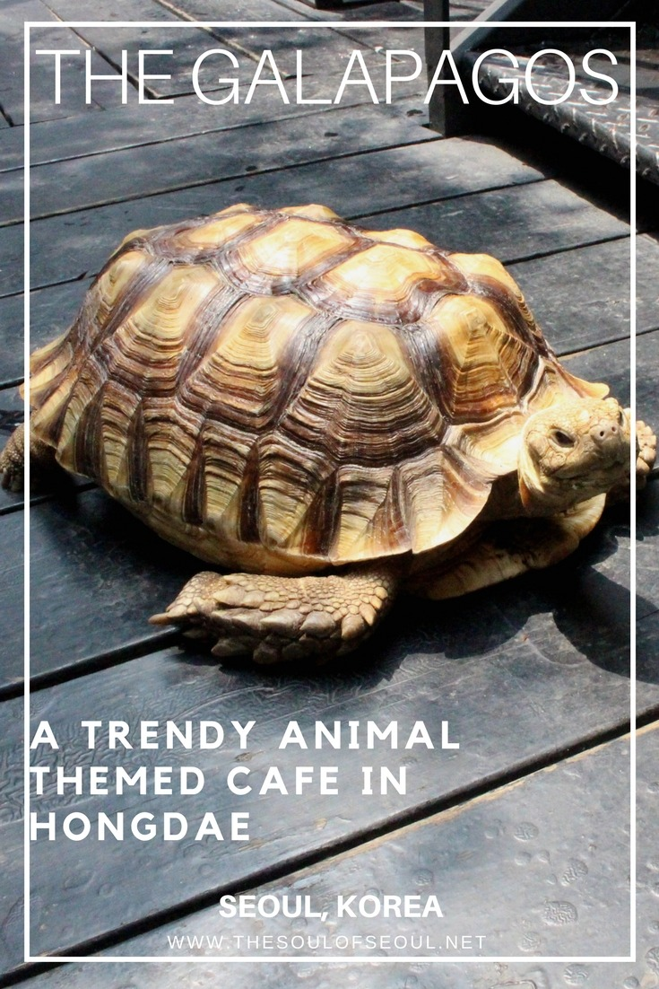The Galapagos, Hongdae, Seoul, Korea: Animal themed cafes are all the rage in Seoul and this one is trendy and modern and houses a turtle, sugar gliders and bearded dragons for something unique and cool in Hongdae, Seoul, Korea.