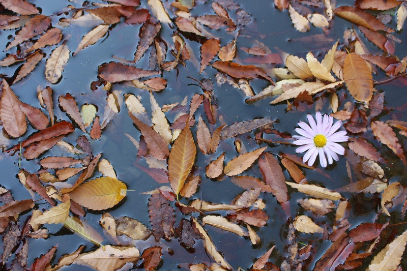 Pyeongwha (Peace) Park, World Cup Park, Seoul, Korea: Autumn Leaves and a Flower