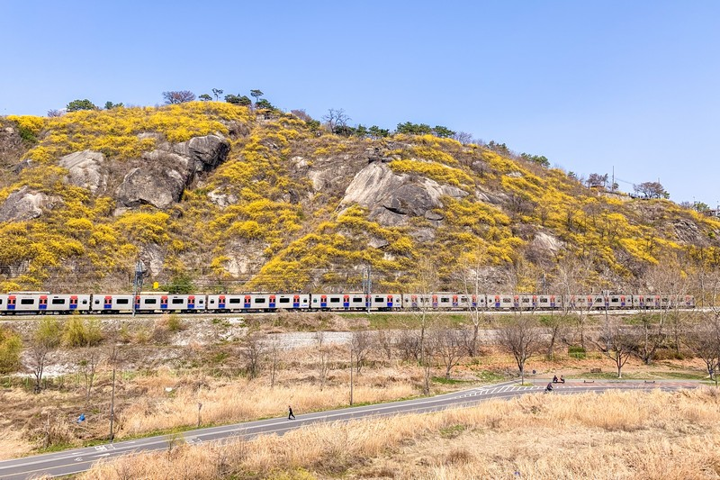 Eungbongsan Mountain, Seoul, Korea: Spring Cherry Blossoms & Forsythia Flowers