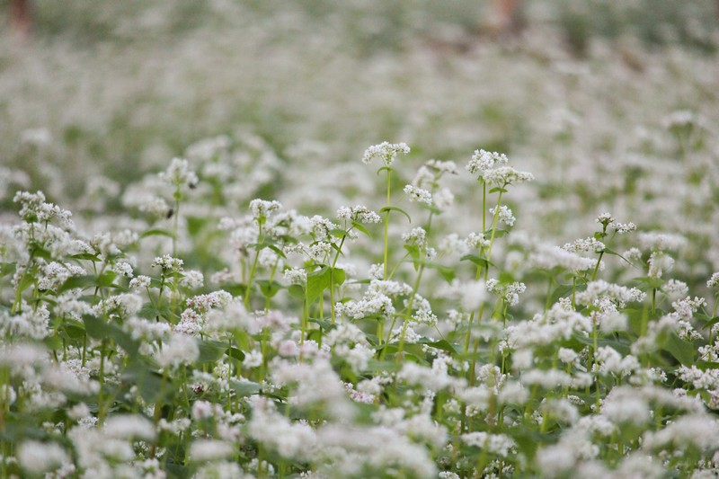 Mokdong Buckwheat flower field, Seoul, Korea