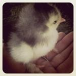 Chick Chick!