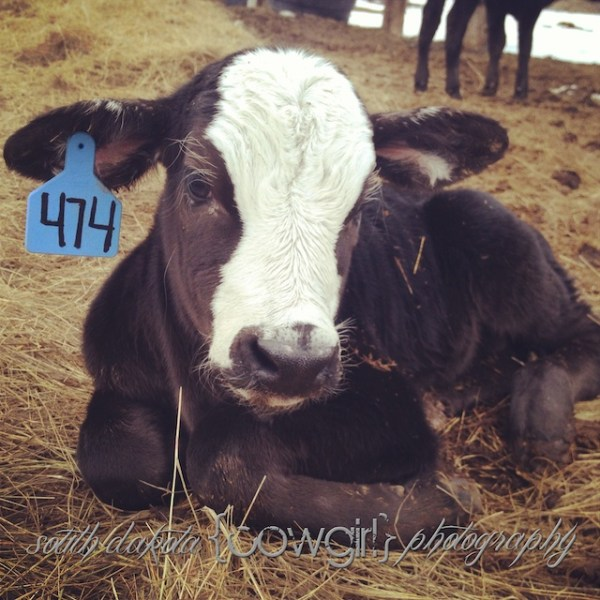 south dakota cowgirl photography, ranching, ranch photography, brangus cattle