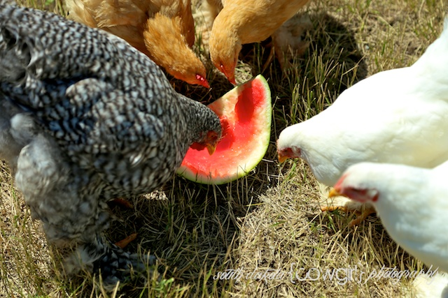 giant cochin chickens, chicken photography, south dakota cowgirl photography, life on my prairie