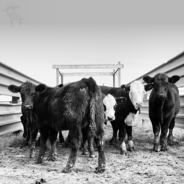south dakota cattle, south dakota cowgirl photograph, ranching in south dakota, ranch life pictures