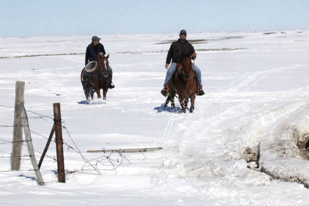 dead cattle in South dakota, blizzard kills thousands of cattle in south dakota
