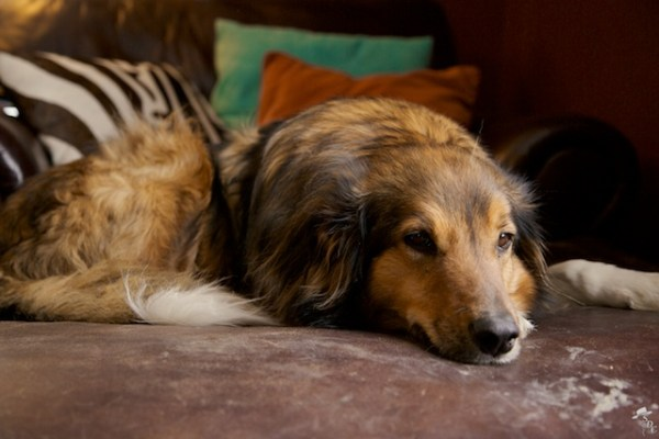 south dakota cowgirl photography, english shepherd, english shepherd dog, my dog, dogs in south dakota