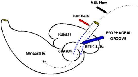 esophogeal groove