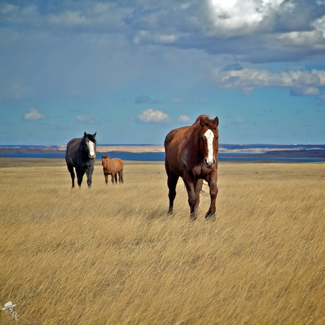equine photography, horse photography, western photography, ranch life, horses in the pasture, horses on a ranch, blaze face horses, horse photos, wild horse photos