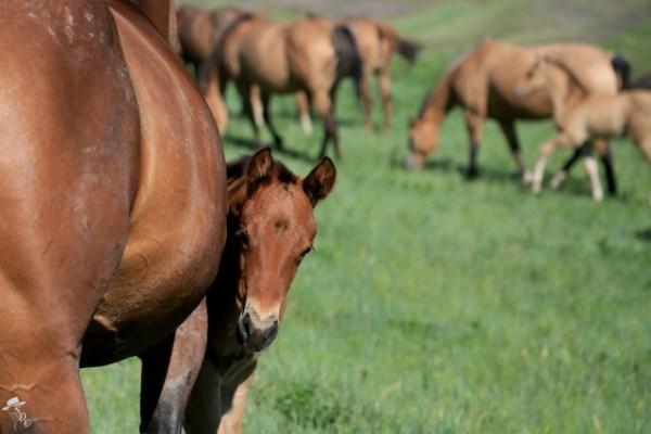 horses, south dakota horses, ranchlife, foals, quarter horses