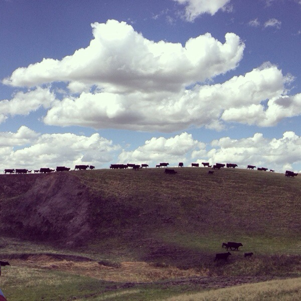 Trailing cows to the corral, south dakota cowgirl photography, blues skies, western lifestyle photography