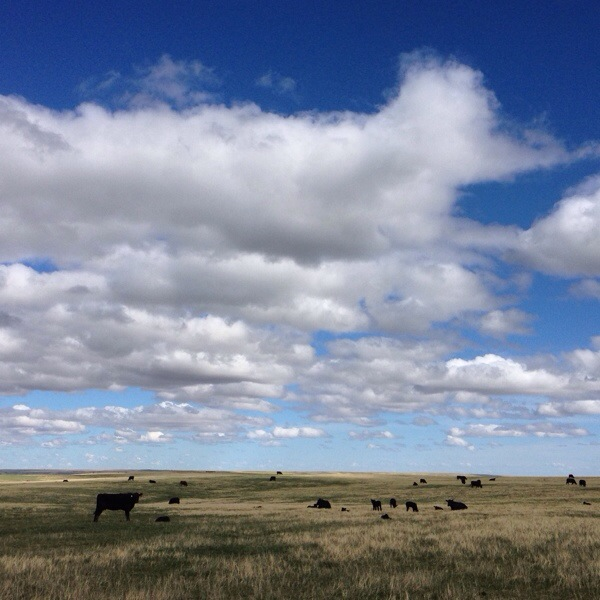 south dakota cowgirl photography, blues skies, brangus cows, western lifestyle photography