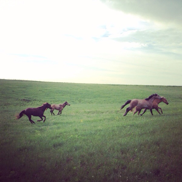 Running horses, south dakota cowgirl photography