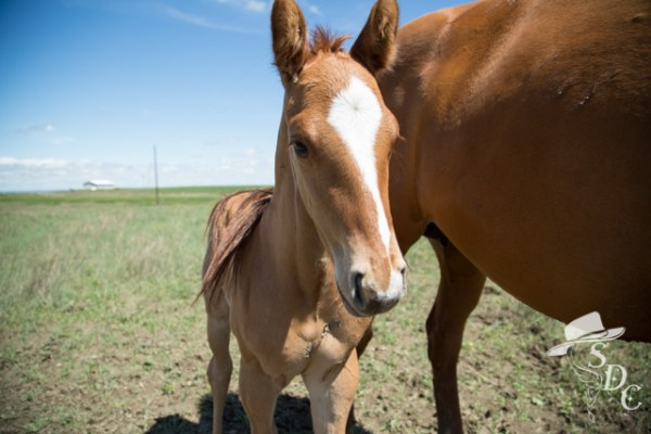 Issimo. Day old colt. Photo by The South Dakota Cowgirl.