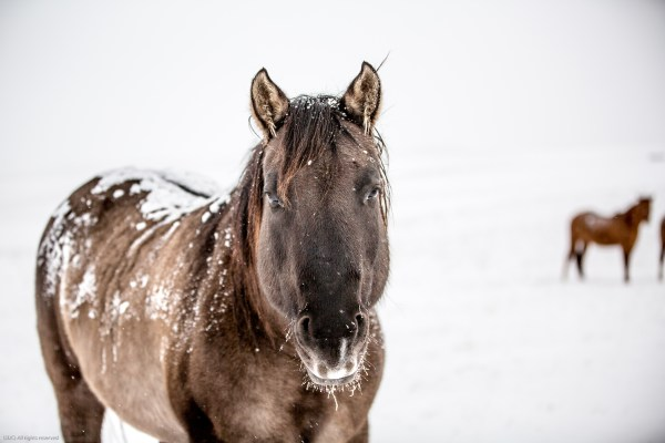 Grulla Horse, Grulla Quarter horse, horses in the snow, winter, snowy horses, horses in the snow
