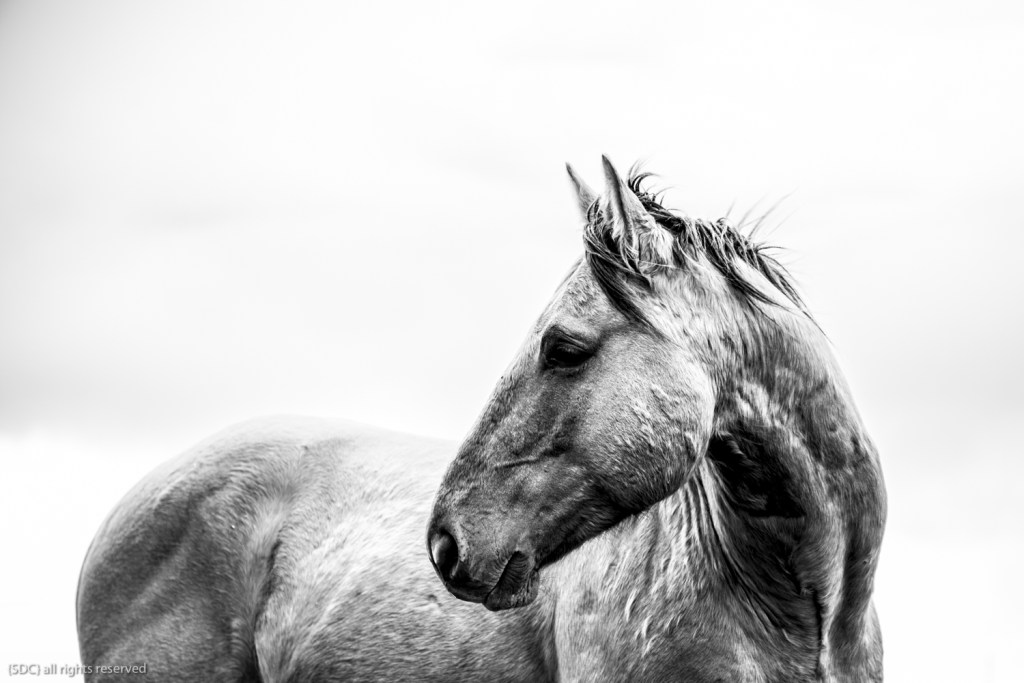 black and white, equine photography, the south dakota cowgirl, south dakota cowgirl photography