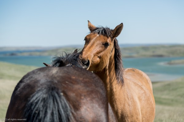 horses scratching, equine photography, the south dakota cowgirl, south dakota cowgirl photography