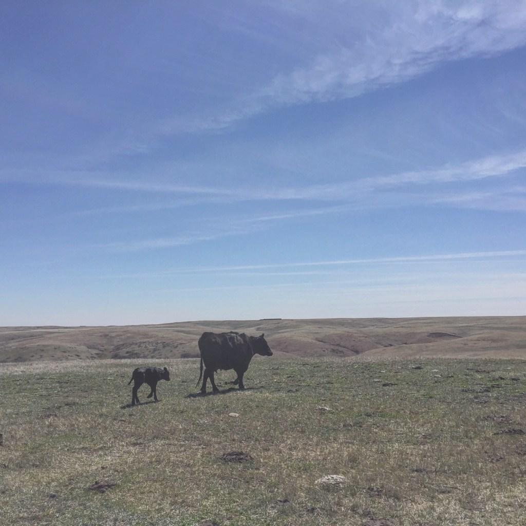 Heifer calf
