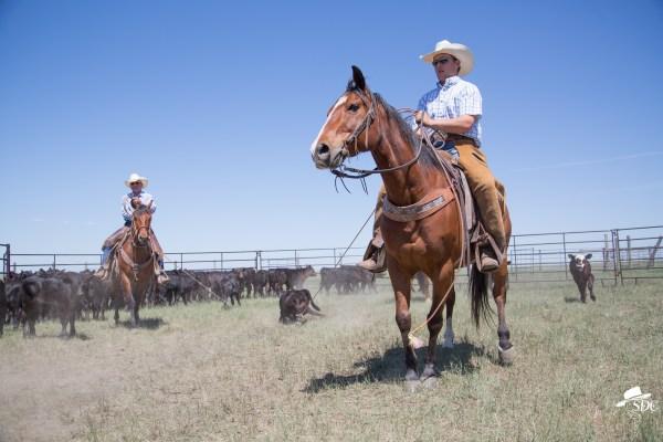 calf branding, branding season, cowboy, american cowboy, ranching, ranch life.