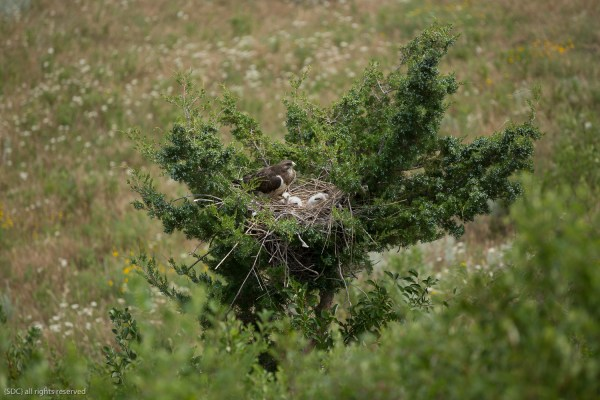 Swainson's Hawk and Chicks