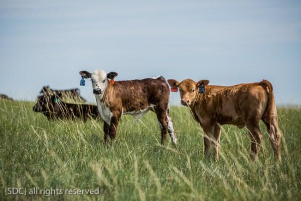 Two colorful calves, adorbs.