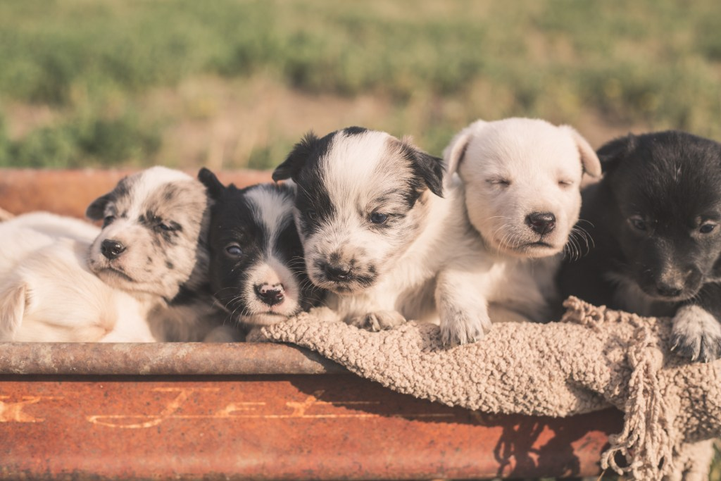 Puppies! South Dakota Cowgirl Photography