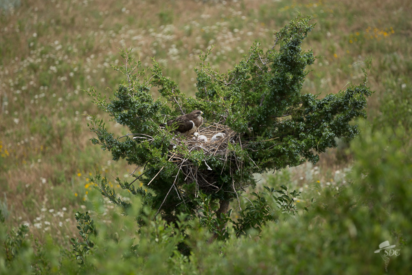 swainsons hawk, ten things to love about ranch life