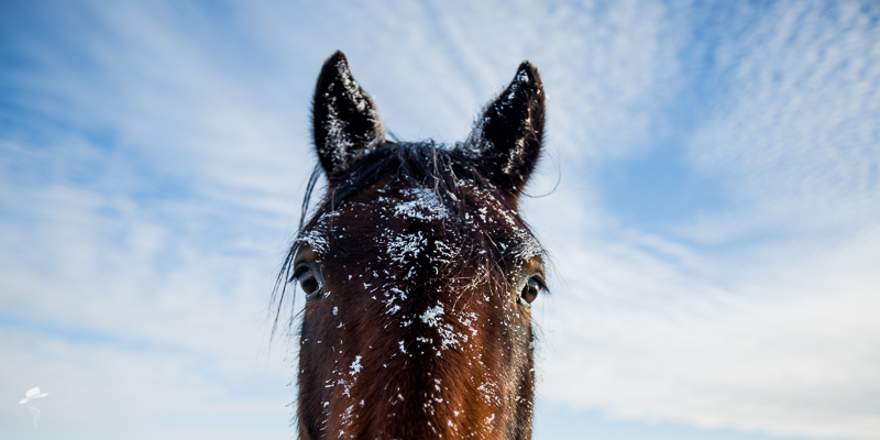 winter on the ranch, the south dakota cowgirl, horses, equine photography, hoar frost