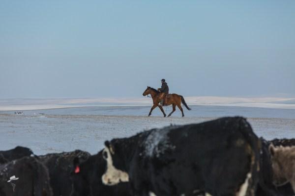 winter cow work, the south dakota cowigirl, cowboys, cattle work, winter in south dakota
