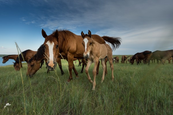 girl power, fillies, quarter horse filly, red dun filly, south dakota cowgirl photography