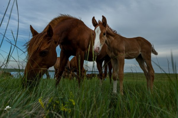 girl power, fillies, quarter horse filly, sorrel filly, south dakota cowgirl photography