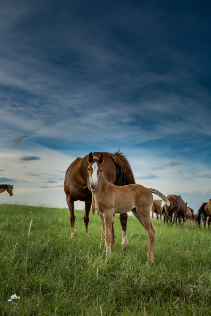 western photography workshop, the south dakota cowgirl, the dx ranch, foal, quarter horse foal