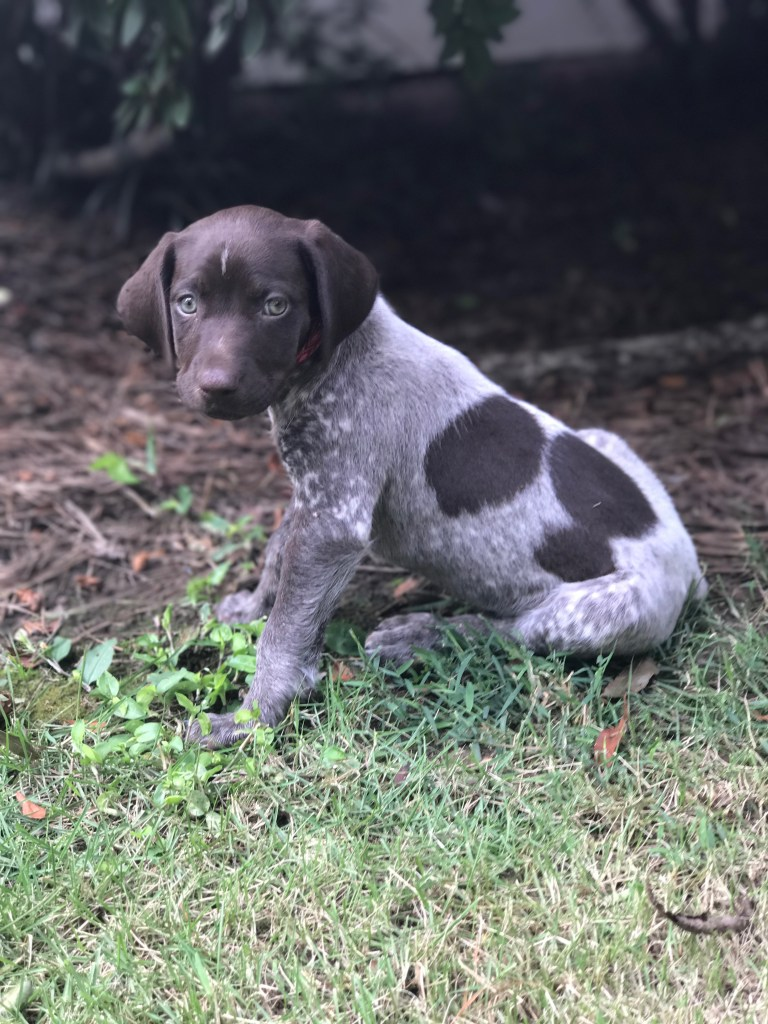 Baby German Shorthaired Pointer Puppy
