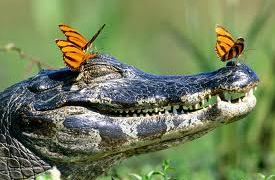 crocfly